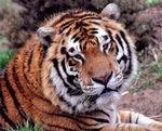 National Tiger Sanctuary - Branson, Missouri 2018 / 2019 Information, attraction tickets, schedule, and map